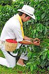 Young man harvesting coffee, Buenavista, Colombia, South America  MR Stock Photo - Premium Rights-Managed, Artist: AWL Images, Code: 862-06541124