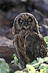 Short eared owl, Genovesa, Galapagos Islands, Ecuador Stock Photo - Premium Rights-Managed, Artist: AWL Images, Code: 862-06541285