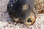 Sea lion pup asleep ont the beach, Fernandina, Galapagos Islands, Ecuador Stock Photo - Premium Rights-Managed, Artist: AWL Images, Code: 862-06541291