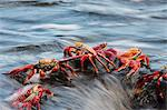 Sally lightfoot crabs feeding on wave swept rocks, Fernandina, Galapagos Islands, Ecuador Stock Photo - Premium Rights-Managed, Artist: AWL Images, Code: 862-06541294