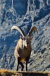 Europe, France, French Alps, Haute Savoie, Chamonix, Alpine Ibex Stock Photo - Premium Rights-Managed, Artist: AWL Images, Code: 862-06541588