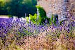 Blooming field of Lavender , Lavandula angustifolia, near St Christol and Sault, Vaucluse, Provence Alpes Cote dAzur, Southern France, France Stock Photo - Premium Rights-Managed, Artist: AWL Images, Code: 862-06541700