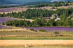 Blooming field of Lavender , Lavandula angustifolia, around Sault and Aurel, in the Chemin des Lavandes, Provence Alpes Cote dAzur, Southern France, France Stock Photo - Premium Rights-Managed, Artist: AWL Images, Code: 862-06541706