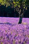 Blooming field of Lavender , Lavandula angustifolia, around Sault and Aurel, in the Chemin des Lavandes, Provence Alpes Cote dAzur, Southern France, France Stock Photo - Premium Rights-Managed, Artist: AWL Images, Code: 862-06541709