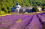 Blooming field of Lavender , Lavandula angustifolia, in front of Senanque Abbey, Gordes, Vaucluse, Provence Alpes Cote dAzur, Southern France, France Stock Photo - Premium Rights-Managed, Artist: AWL Images, Code: 862-06541728