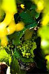 Wine production in Bonnieux, Vaucluse, Provence, France Stock Photo - Premium Rights-Managed, Artist: AWL Images, Code: 862-06541738