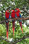 Three Macaw parrots perched on branch, Copan Ruinas, Central America, Honduras. Stock Photo - Premium Rights-Managed, Artist: AWL Images, Code: 862-06541890