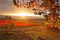Italy, Umbria, Perugia district. Autumnal Vineyards near Montefalco Stock Photo - Premium Rights-Managednull, Code: 862-06542003