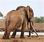A large bull elephant at a waterhole in Tsavo East National Park. Stock Photo - Premium Rights-Managed, Artist: AWL Images, Code: 862-06542179