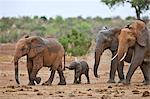 Mud spattered Elephants leaving a waterhole in Tsavo East National Park with a baby trying to grasp the tail of the elephant in front of it. Stock Photo - Premium Rights-Managed, Artist: AWL Images, Code: 862-06542183