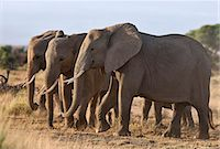Elephants feeding on dried grass and browse. Stock Photo - Premium Rights-Managednull, Code: 862-06542204