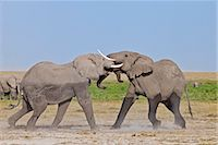 Two young bull elephants spar at Amboseli. Stock Photo - Premium Rights-Managednull, Code: 862-06542213