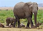 A baby elephant follows its mother beside the permanent swamps at Amboseli. Stock Photo - Premium Rights-Managed, Artist: AWL Images, Code: 862-06542232
