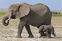 A baby elephant follows its mother beside the permanent swamps at Amboseli. Stock Photo - Premium Rights-Managednull, Code: 862-06542234