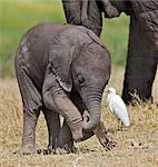A baby elephant playing with a piece of dead wood beside its mother. Stock Photo - Premium Rights-Managed, Artist: AWL Images, Code: 862-06542236