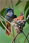 A female African Paradise flycatcher watching over its young. Stock Photo - Premium Rights-Managed, Artist: AWL Images, Code: 862-06542255