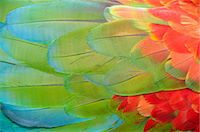 feather  close-up - Parrot feathers at Bocas del Toro near Isla Colon, Panama, Central America Stock Photo - Premium Rights-Managednull, Code: 862-06542662