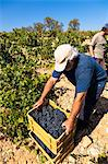 Harvest season in Briones, La Rioja, Spain Stock Photo - Premium Rights-Managed, Artist: AWL Images, Code: 862-06542864