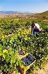 Harvest season in Briones, La Rioja, Spain Stock Photo - Premium Rights-Managed, Artist: AWL Images, Code: 862-06542865
