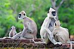 Sri Lanka, North Central Province Polonnaruwa, UNESCO World Heritage Site, Tufted Gray Langurs, Semnopithecus priam Stock Photo - Premium Rights-Managed, Artist: AWL Images, Code: 862-06543055