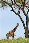 An Oribi leaps high in front of a curious Rothschilds Giraffe in Murchison Falls National Park, Uganda, Africa Stock Photo - Premium Rights-Managed, Artist: AWL Images, Code: 862-06543169