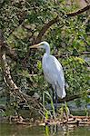 A Yellow billed or Intermediate Egret on the edge of the Kazinga Channel in Queen Elizabeth National Park, Uganda, Africa Stock Photo - Premium Rights-Managed, Artist: AWL Images, Code: 862-06543235