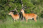 Male Uganda Kobs. They are distinguished from females by their thick, lyrate horns, Uganda, Africa Stock Photo - Premium Rights-Managed, Artist: AWL Images, Code: 862-06543242