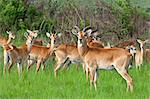 A herd of Uganda Kob at Ishasha in the southwest corner of the Queen Elizabeth National Park, Uganda, Africa Stock Photo - Premium Rights-Managed, Artist: AWL Images, Code: 862-06543246