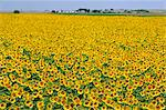 Sunflowers at a farm near Rushville, Western Nebraska, USA Stock Photo - Premium Rights-Managed, Artist: AWL Images, Code: 862-06543378