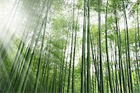 Bamboo forest and sunlight Stock Photo - Premium Royalty-Freenull, Code: 622-06548629