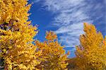 Yellow leaves and blue sky with clouds Stock Photo - Premium Royalty-Free, Artist: foodanddrinkphotos, Code: 622-06548821