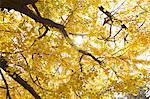 Ginkgo Biloba trees Stock Photo - Premium Royalty-Free, Artist: foodanddrinkphotos, Code: 622-06548827