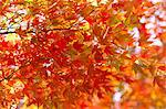 Red maple leaves Stock Photo - Premium Royalty-Free, Artist: Aflo Relax, Code: 622-06548830