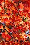 Red maple leaves Stock Photo - Premium Royalty-Free, Artist: Aurora Photos, Code: 622-06548833