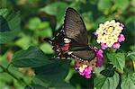 Swallowtail butterfly Stock Photo - Premium Royalty-Free, Artist: Minden Pictures, Code: 622-06548836