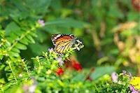 feather  close-up - Common Tiger butterfly Stock Photo - Premium Royalty-Freenull, Code: 622-06548839