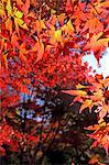 Red maple leaves Stock Photo - Premium Royalty-Free, Artist: foodanddrinkphotos, Code: 622-06549205