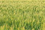 Wheat field Stock Photo - Premium Royalty-Freenull, Code: 622-06549230