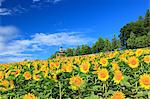 Sunflower field and blue sky with clouds Stock Photo - Premium Royalty-Freenull, Code: 622-06549234