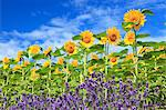 Sunflowers lavender and blue sky with clouds Stock Photo - Premium Royalty-Free, Artist: JTB Photo, Code: 622-06549235