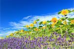 Sunflowers lavender and blue sky with clouds Stock Photo - Premium Royalty-Freenull, Code: 622-06549236