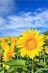 Sunflower Stock Photo - Premium Royalty-Freenull, Code: 622-06549237