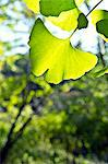 Ginkgo Biloba leaves Stock Photo - Premium Royalty-Free, Artist: AWL Images, Code: 622-06549463