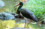Black Stork (Ciconia nigra) Wading in Shallow Water, Bavarian Forest National Park, Bavaria, Germany Stock Photo - Premium Rights-Managed, Artist: David & Micha Sheldon, Code: 700-06553523