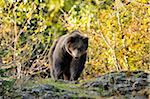 Eurasian Brown Bear (Ursus arctos arctos) in Wooded Area in Autumn, Bavarian Forest National Park, Bavaria, Germany Stock Photo - Premium Rights-Managed, Artist: David & Micha Sheldon, Code: 700-06553539