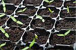 Many young seedlings in germination tray - closeup, shallow depth Stock Photo - Royalty-Free, Artist: lightkeeper                   , Code: 400-06555704
