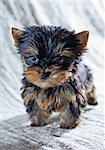 Portrait Small Yorkshire Terrier Puppy Stock Photo - Royalty-Free, Artist: Laures                        , Code: 400-06557595