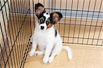 Puppy papillon in a cage for small dogs Stock Photo - Royalty-Free, Artist: Laures                        , Code: 400-06557597