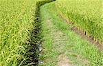 Small path in a field of rice in Japan Stock Photo - Royalty-Free, Artist: Fyletto                       , Code: 400-06569635