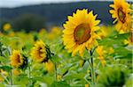 Sunflowers in Field, Bavaria, Germany Stock Photo - Premium Rights-Managed, Artist: David & Micha Sheldon, Code: 700-06570889